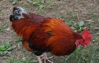 petelin_rooster_gallus