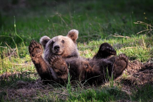 life_with_bears_iba_2018