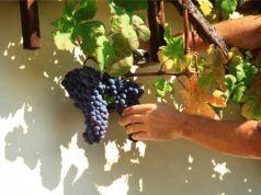 maribor_harvest_old_vine
