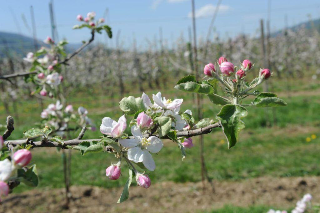 apple_trail_selnica_ob_dravi