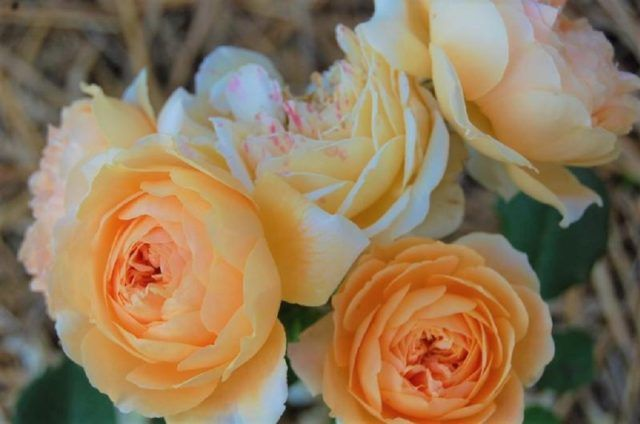 vrtnica_rosa_auswinter