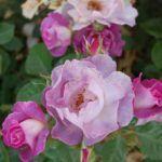 vrtnica_rosa_blue_for_you