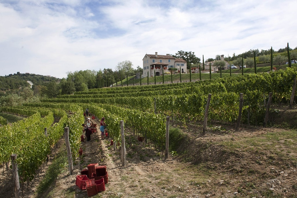kabola_winery_harvest