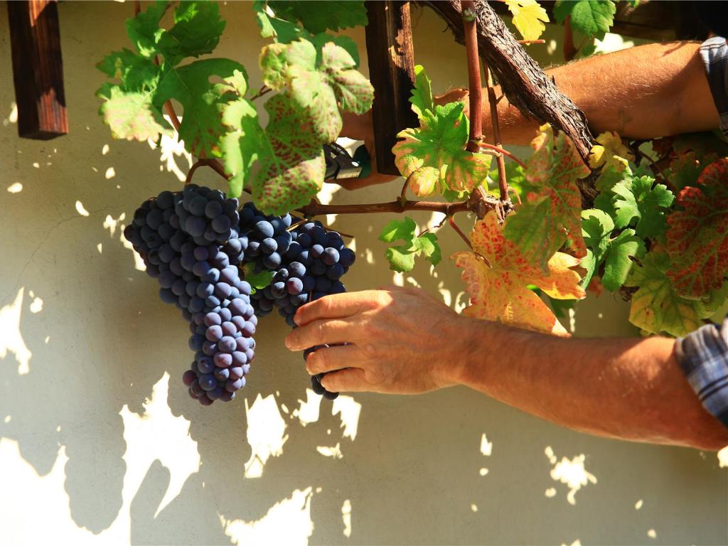 maribor_old_vine_harvest