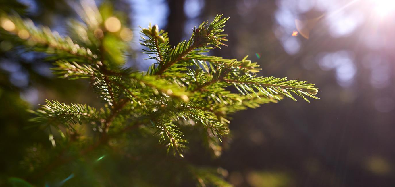 pohorje_treetops