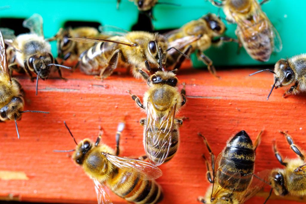 bees-honey-beekeeping